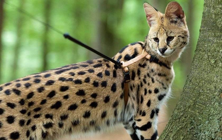 Самые большие породы кошек, названия и информация о них