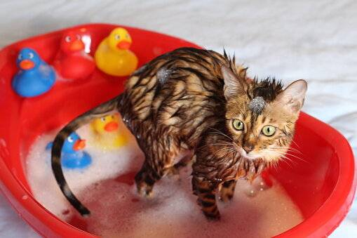 Как правильно купать котенка в первый раз и с какого возраста можно начинать?