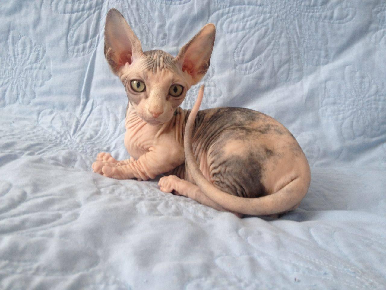 Бамбино кошка. описание, особенности, уход и цена кошки бамбино | животный мир