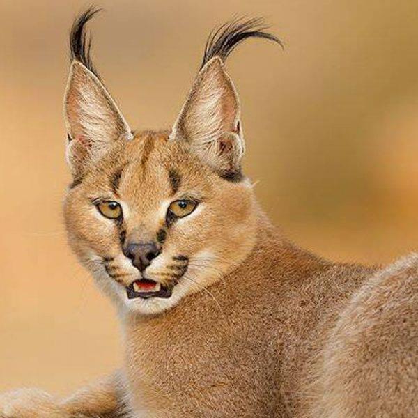 Каракал (фото): грациозный представитель кошачьей экзотики - kot-pes