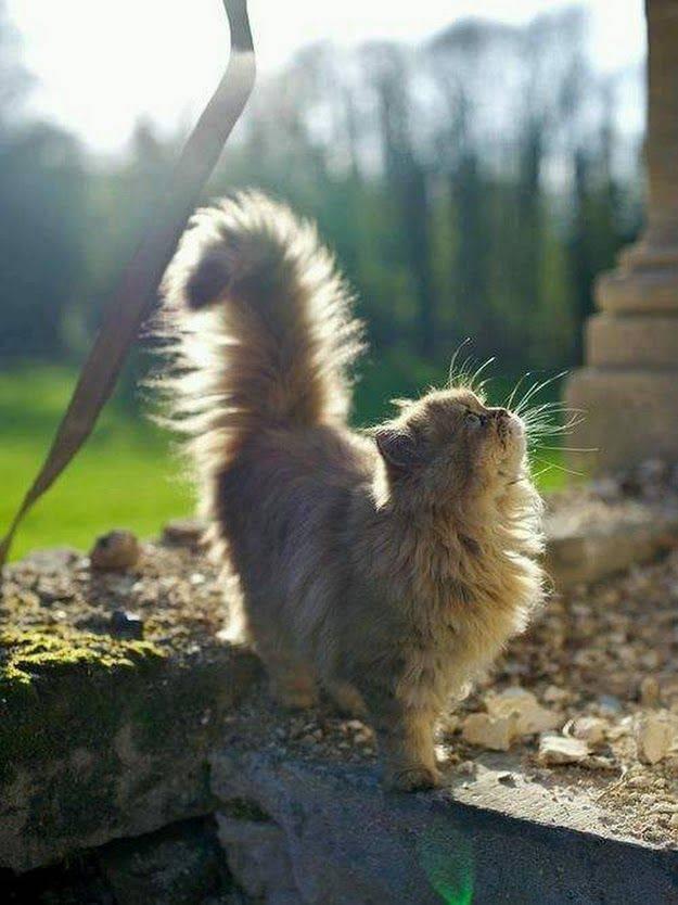 Кошки бобтейлы  список пород с названием и фото
