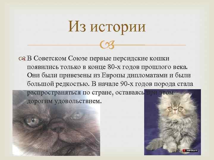 Персидская кошка: фото, описание породы и характера, содержание в домашних условиях