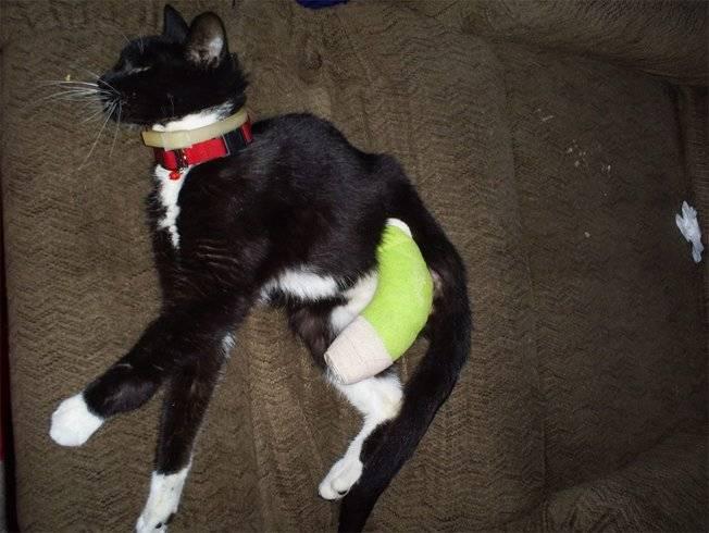 Кошка сломала лапу: симптоматика и оказание первой помощи в домашних условиях