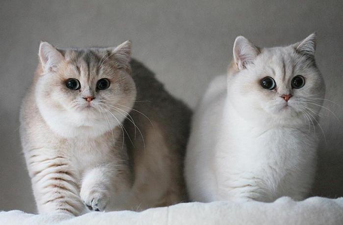 Кто крупнее британский или шотландский кот. чем отличается британская от шотландской