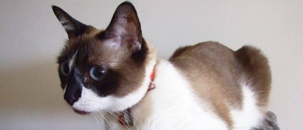 Сноу-шу — история и описание породы котов