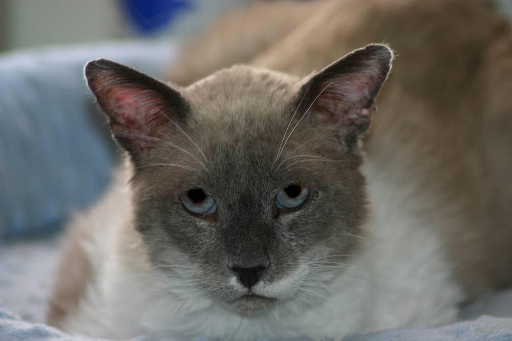 Что значит если у кошки уши горячие а нос холодный | my darling cats