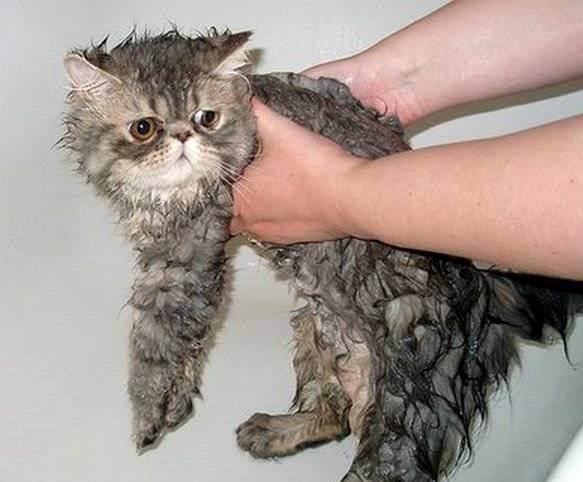 Как помыть кошку? как сушить кота после купания как высушить кошку после купания