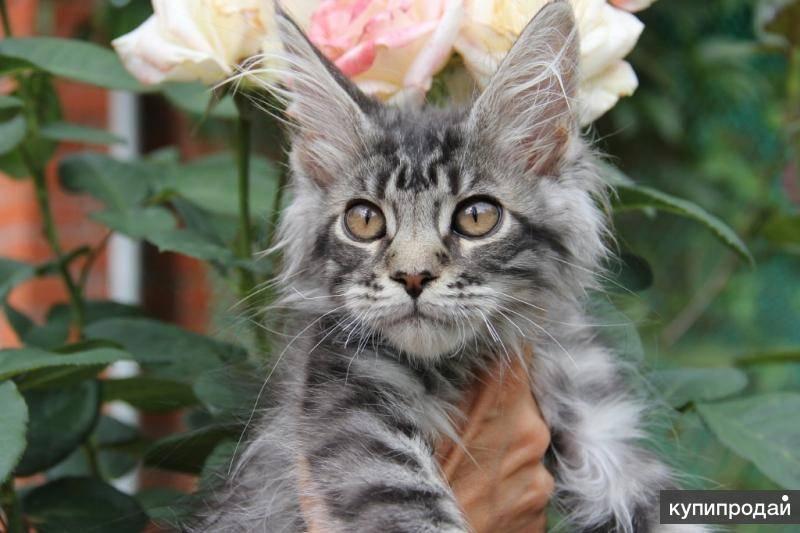 Имена для мейн кунов мальчиков — коты мэйкун клички