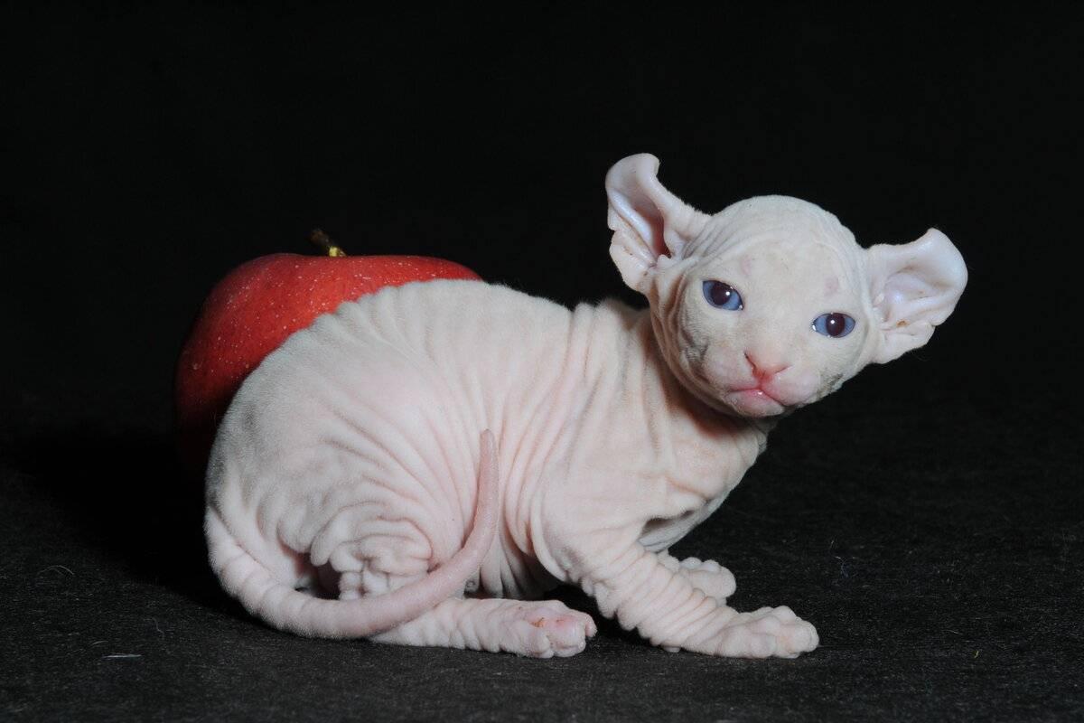 Кошка эльф – описание породы и уход, + фото