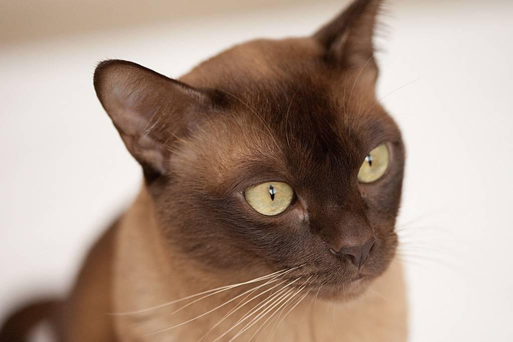 Бурманская кошка. описание, особенности, цена и уход за бурманской кошкой | животный мир