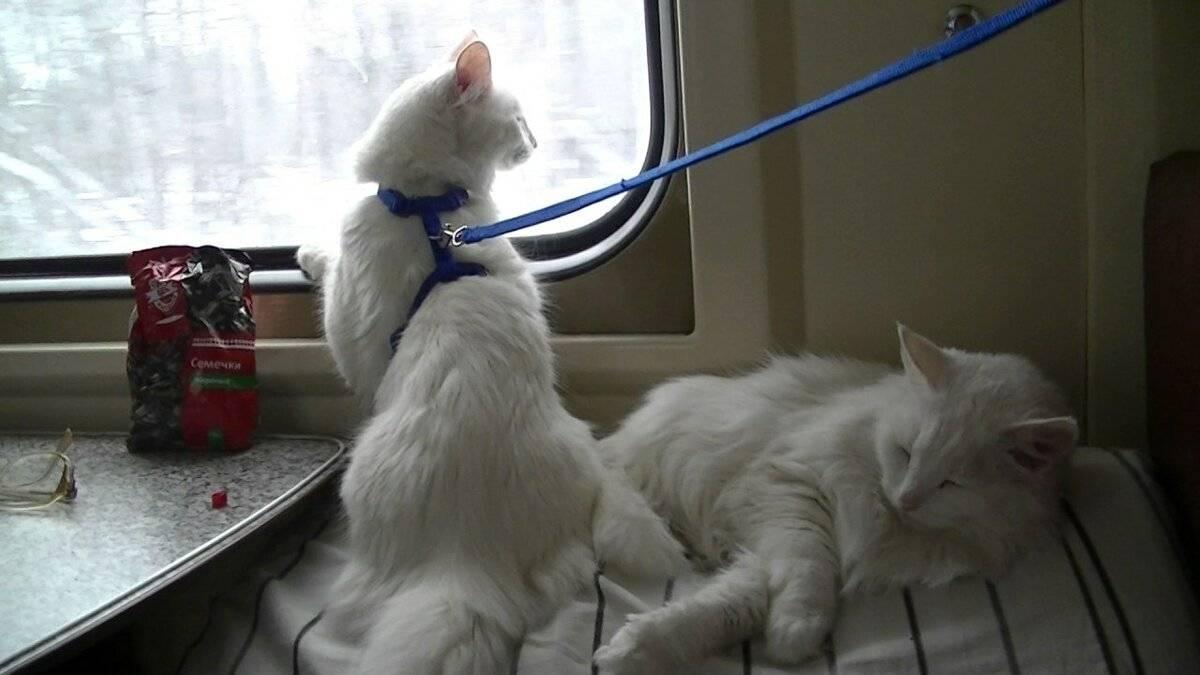 Как перевезти кошку в поезде: актуальные правила и советы
