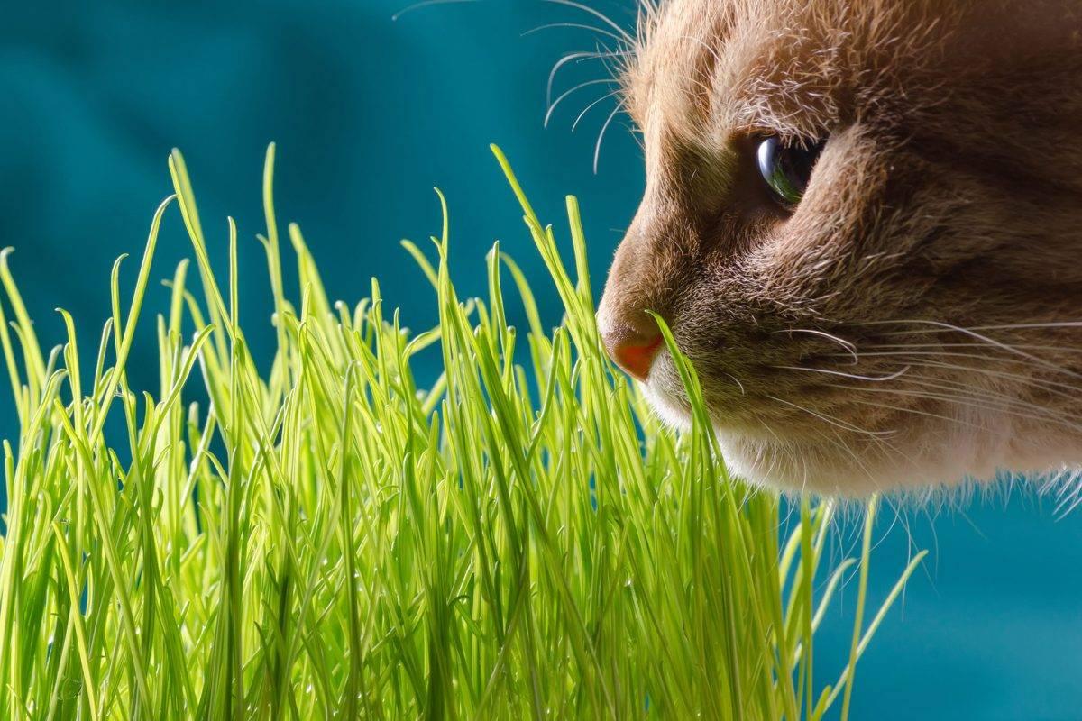 Трава для кошек – как вырастить траву для кошек?