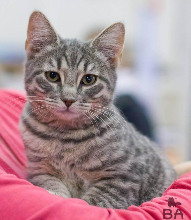 Короткошерстая европейская кошка