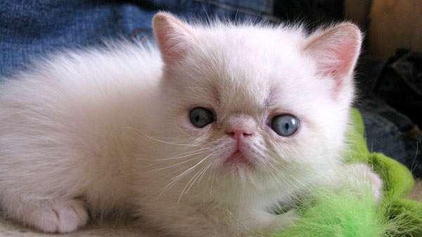 Британская кошка и беспородный котёнок - запись пользователя ольга (tuzartmama) в сообществе домашние животные в категории помогите советом - babyblog.ru