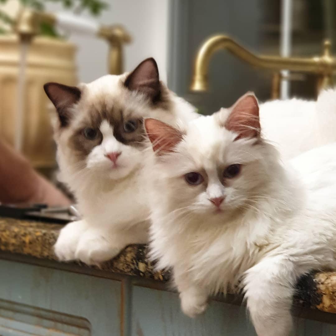 Кошка гавана: описание породы, характер, уход, стоимость