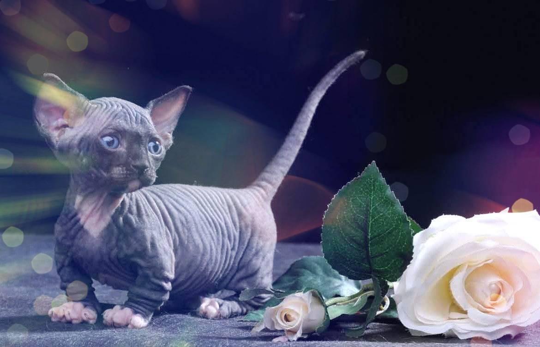 Самые необычные кошки планеты: названия пород, их описания и фото