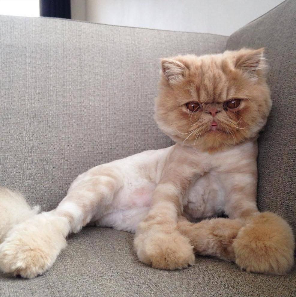 Эти разные и прекрасные кошки: классификация пород, фото, отзывы