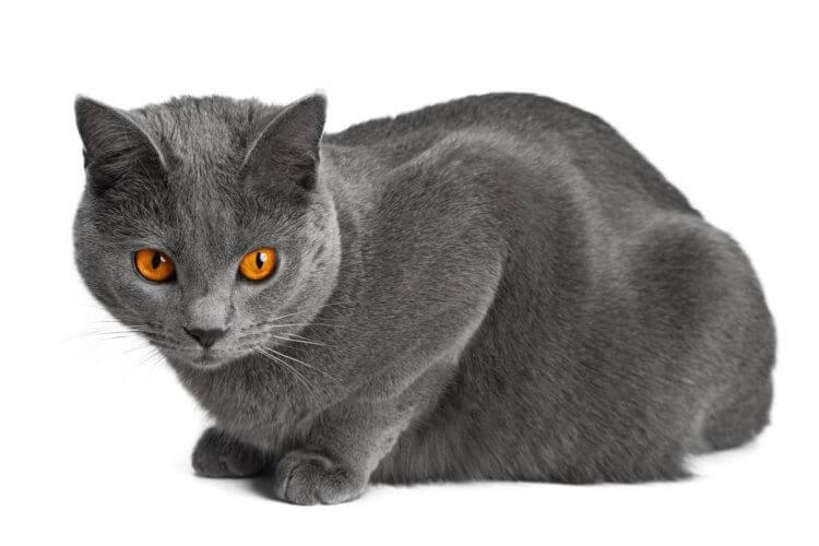 Описание и характер картезианской кошки шартрез – уход и содержание