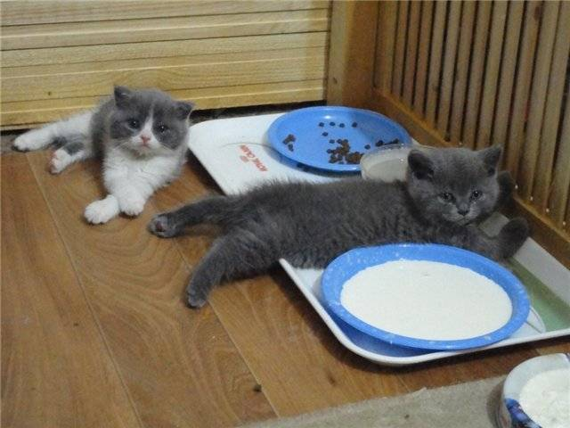 Британские котята-фото породы, уход и кормление по месацам