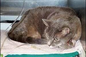Панкреатит кошек симптомы лечение