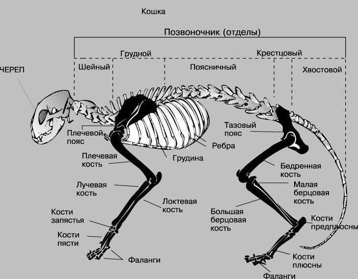 Подробное описание скелета кошек: анатомические особенности строения