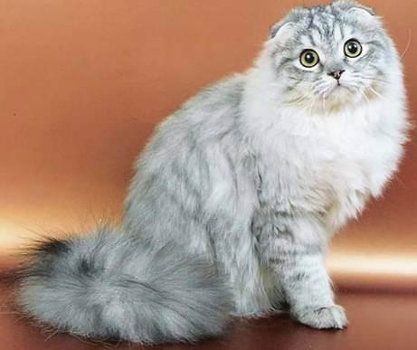Внешний вид кошки хайленд фолд