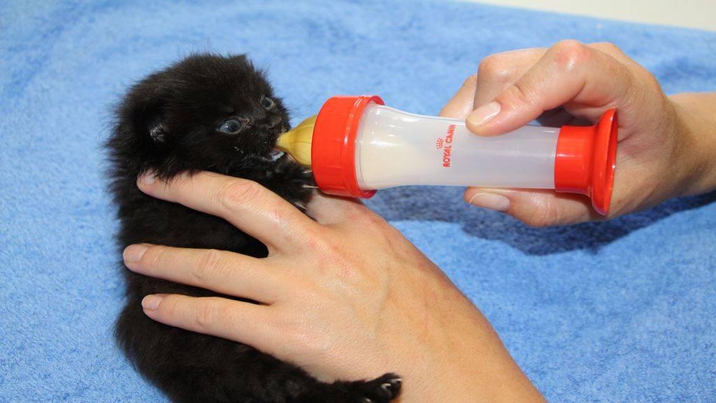 Средства для кормления котёнка без кошки: все о процессе, рационе и графике питания