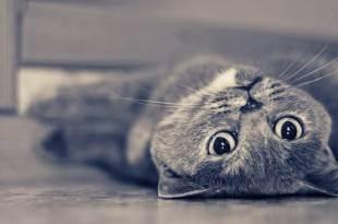 Инстинкт продолжения рода, или cексуальные кошачьи проблемы. когда кот может начать гулять