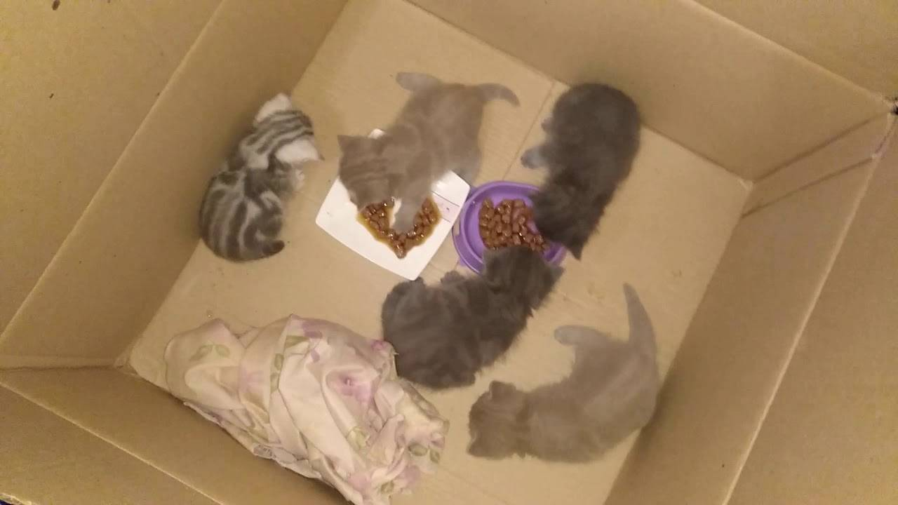 Нормы веса британских котят с разбивкой по месяцам, перебор или недобор веса у котят