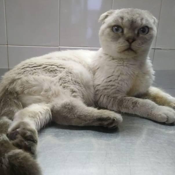 Остеохондродисплазия шотландских кошек