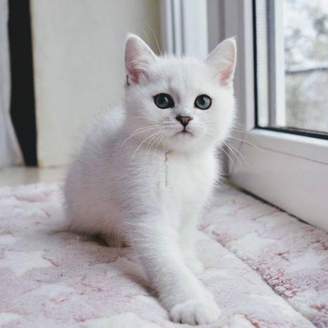 Кошка золотая шиншилла (35 фото): особенности котят золотистой породы, различия кошек шотландского и английского происхождения, черты характера животного