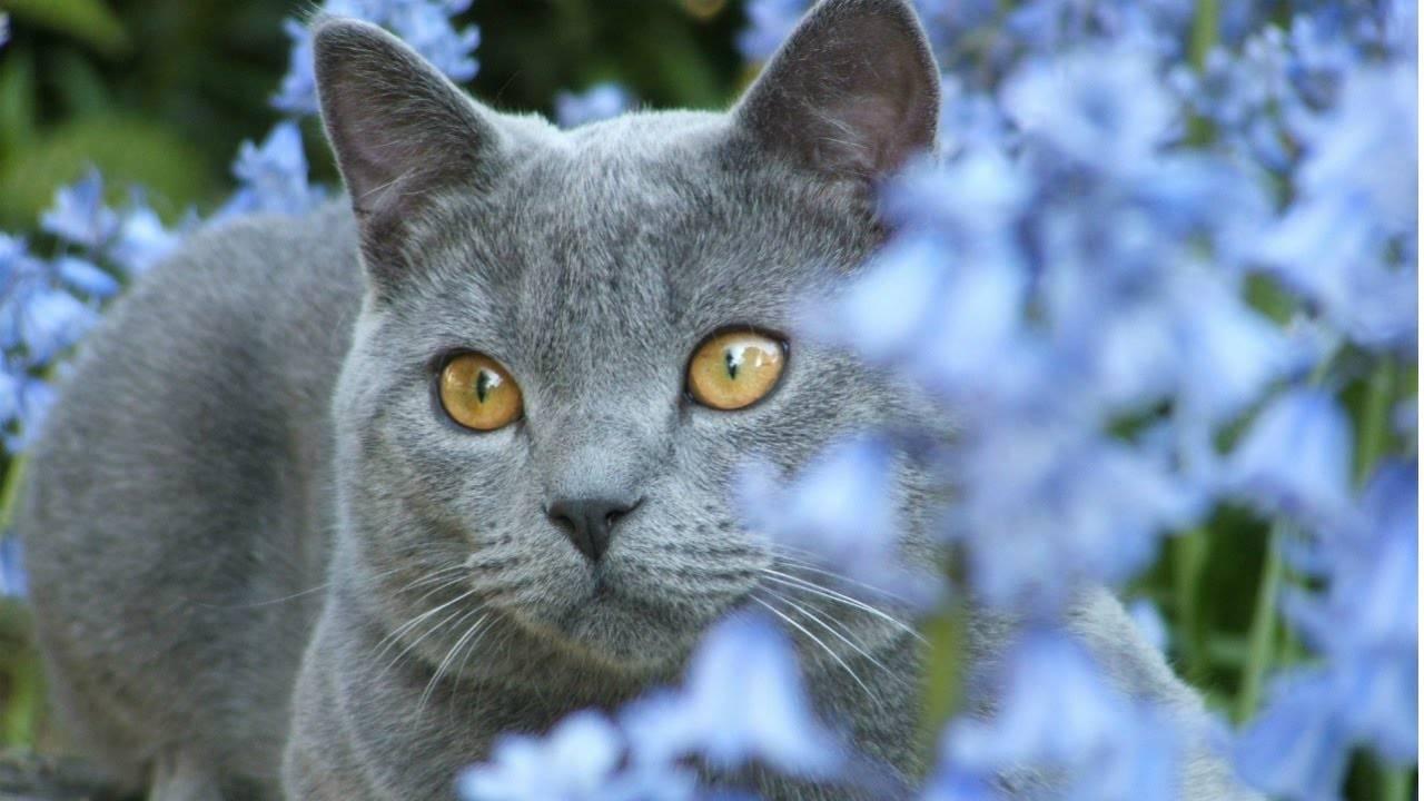 Серый кот: обзор популярных пород