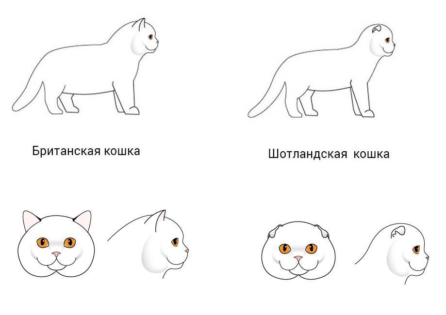 Вислоухие коты и кошки: британцы и шотландцы | разница