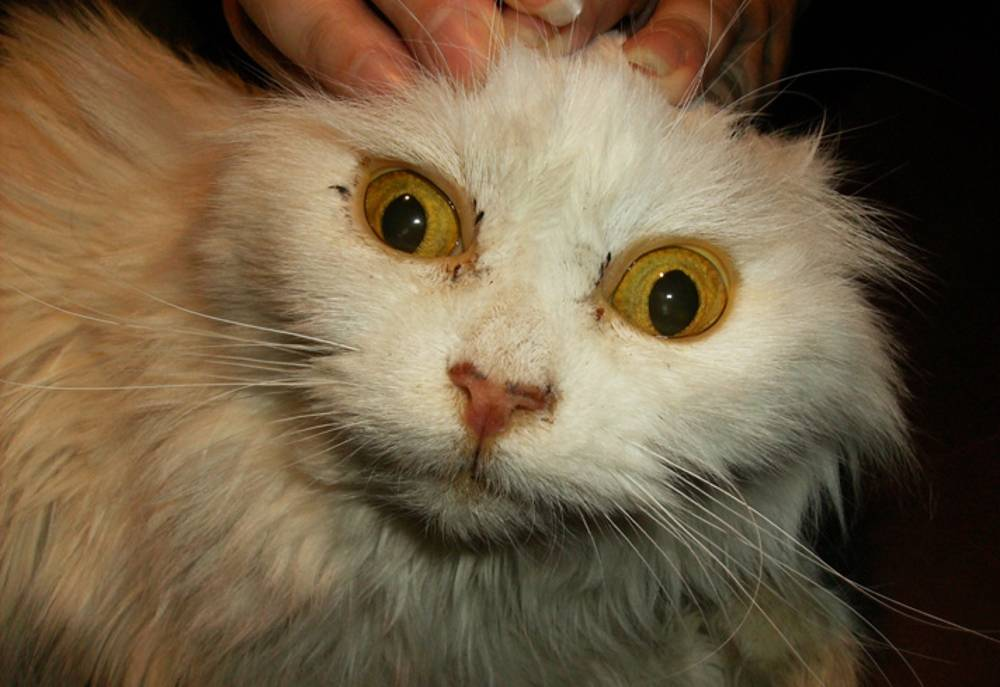 Заболевание печени у кошек