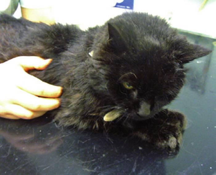 Уход за кошкой после инсульта. инсульт у кота симптомы и лечение