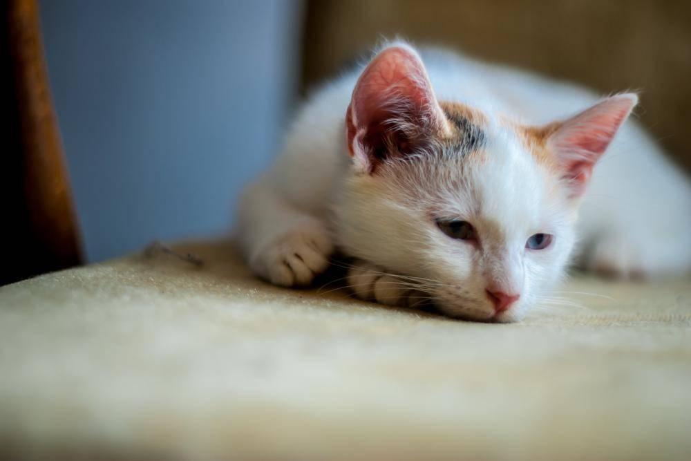 Заболевания шотландских вислоухих кошек