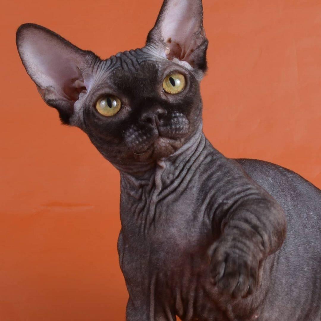 Кошка бамбино: живой эльф в вашем доме!