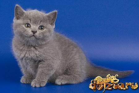 Скоттиш-страйт - шотландская прямоухая кошка