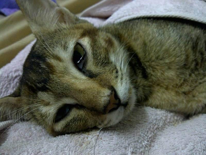 Чумка у кошек - симптомы и лечение болезни. диагностика и профилактика кошачьей чумки. - petstime.ru