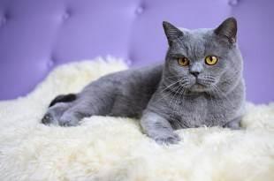 Уход за шерстью британской кошки