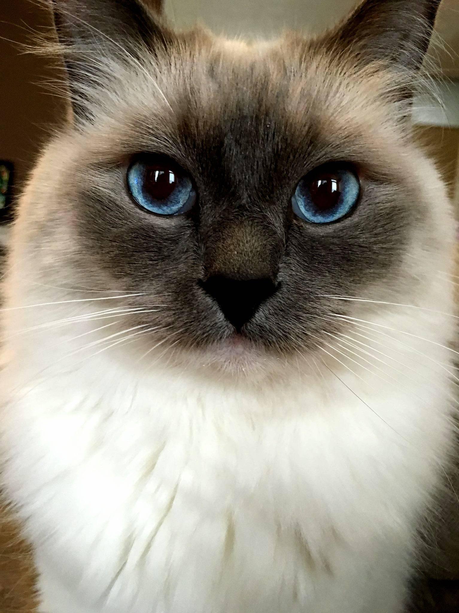 Сиамская кошка: описание породы, характер, сколько живут