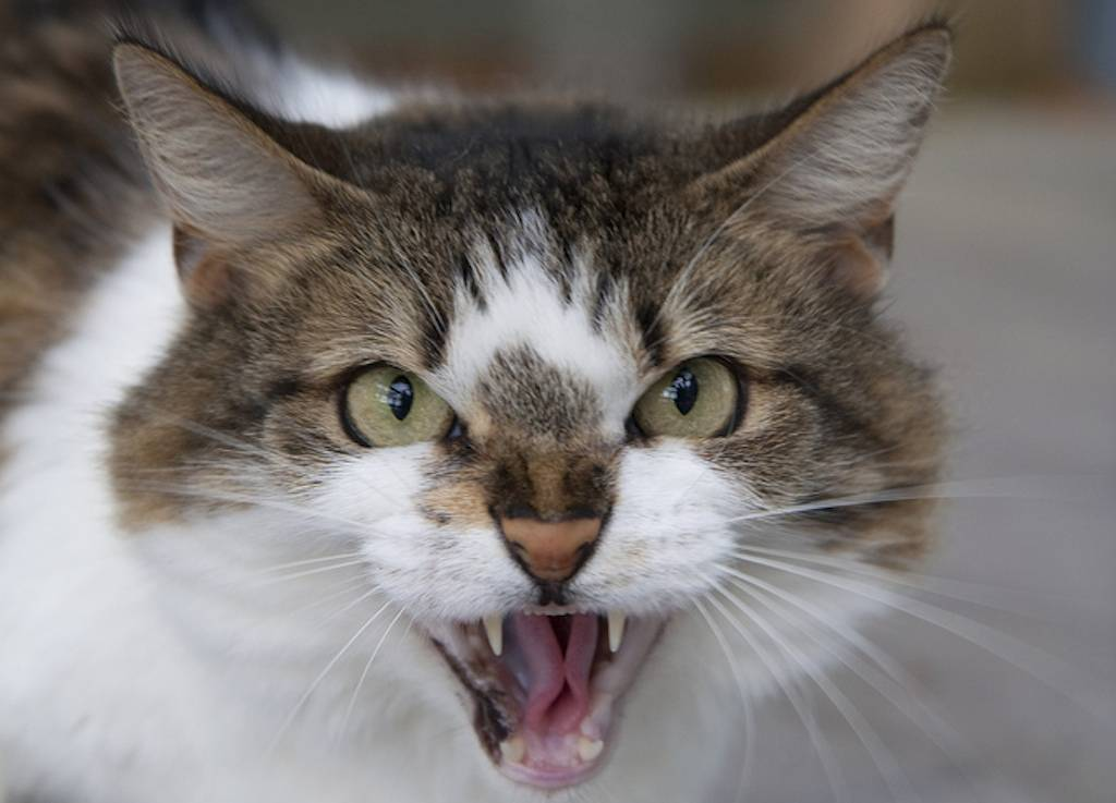 Кот шипит – 10 причин, вызывающих агрессивную реакцию