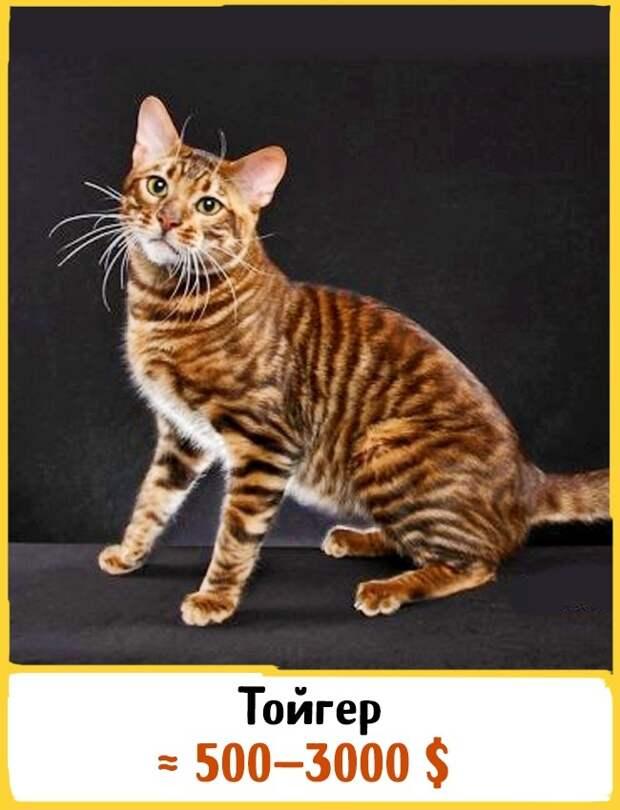 Описание и особенности темперамента кошек породы тойгер (тайгер), основы ухода