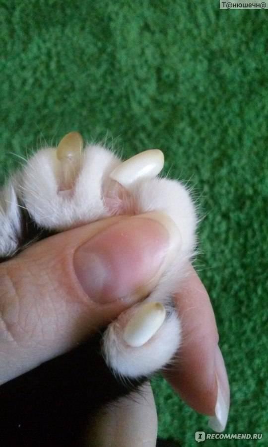 Как правильно извлечь вросший коготь у кошки?
