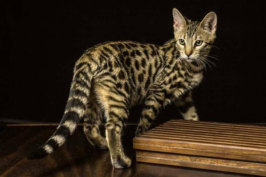 «они что, золотые?»: топ-10 самых дорогих пород кошек в мире