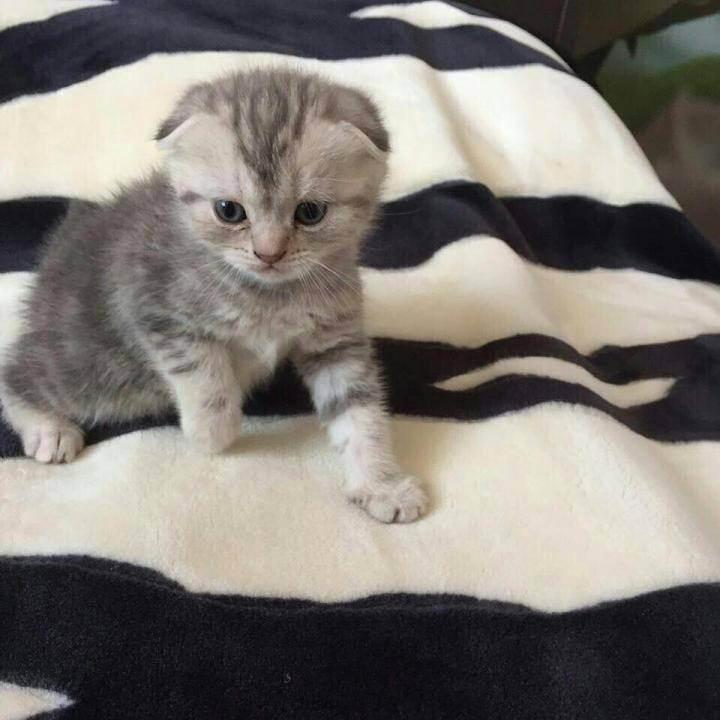 Чем кормить вислоухого шотландского котенка в домашних условиях: питание для котят