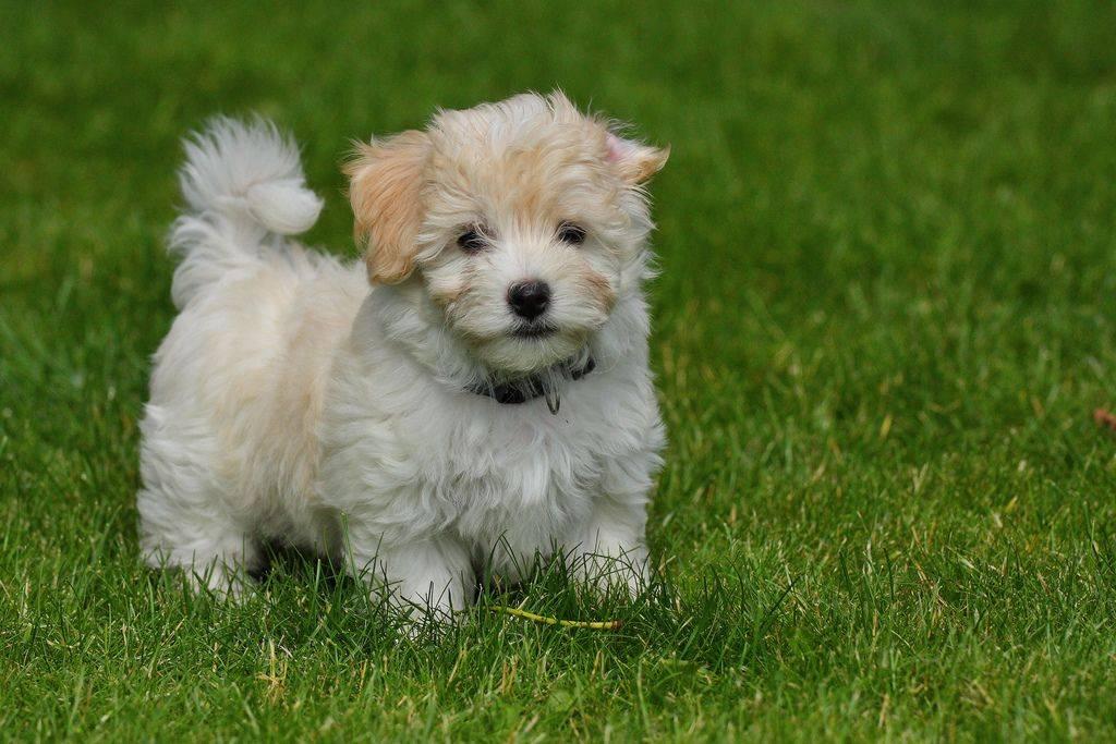 Гаванский бишон: описание породы, характер, фото | все о собаках