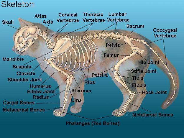 Скелет кошки: подробная анатомия