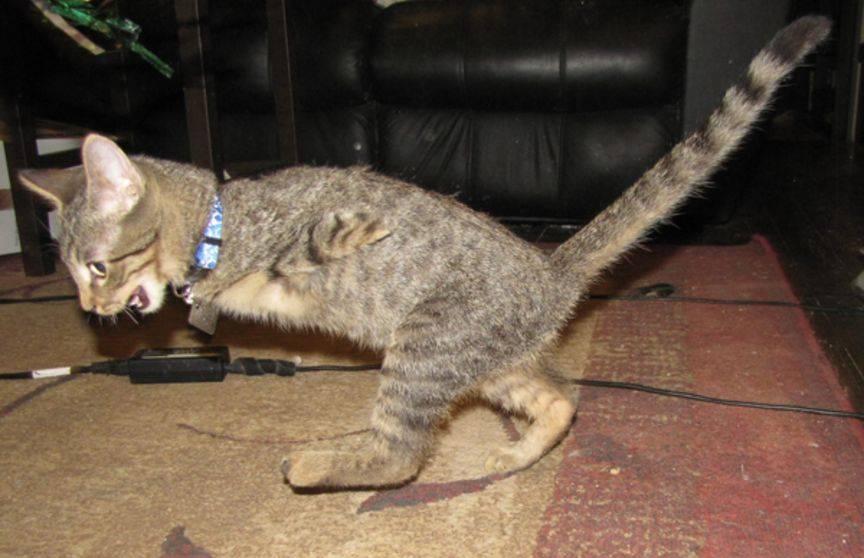 У кошки отнимаются задние ноги: почему это происходит и что делать, если питомцу отказали лапы?