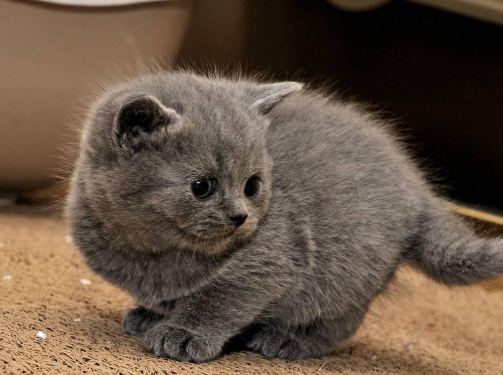Как назвать британскую кошку: правила подбора клички коту и кошке, варианты имен